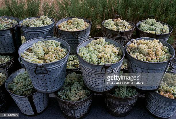 Buckets filled with grapes Xerokambos Crete Greece