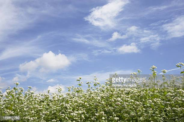 Buckwheat flowers against blue sky