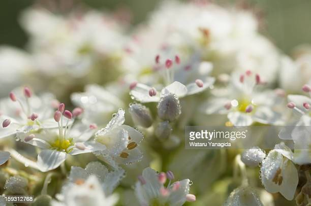Buckwheat flowers with dew