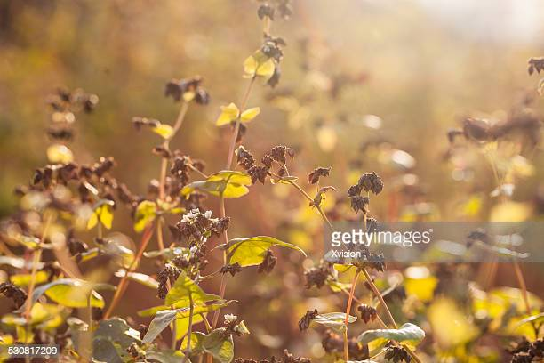 Buckwheat in autumn