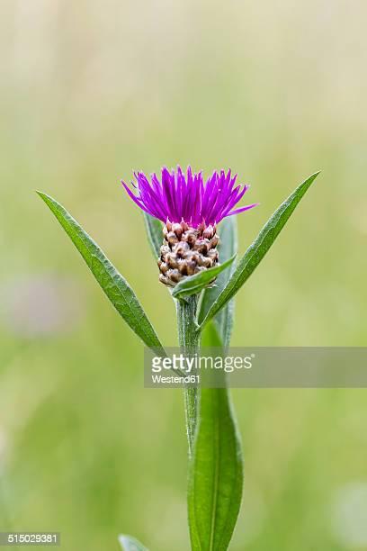 Bud of violet cornflower, Centaurea cyanus