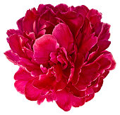 Bud of peony flower bright red or purple in artificial light, isolated on white background