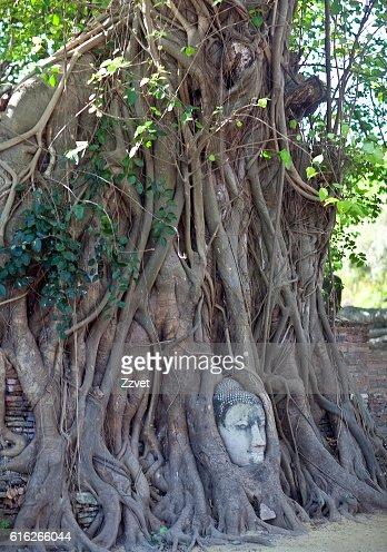 Buddha's Head in Tree Roots in Ayutthaya, Thailand : Stock Photo