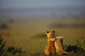 Lion cubs, buddies, morning light, in Masai Mara, Kenya.