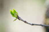 budding branches in the spring against the blue sky - copy space