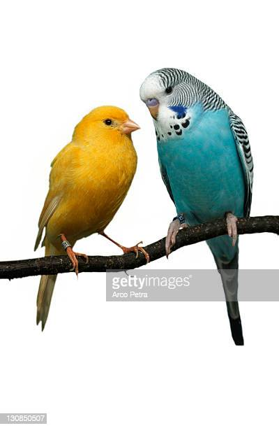Budgerigar and Canary (Melospittacus undulatus) Wellensittich und Kanarienvogel Tiere, animals, Vogel, Singvoegel, songbirds, Haustier, Heimtier, pet, Papageien, parrots, Sittiche, parakeets, gelb, yellow, blau, blue, Freisteller, cut out, Objekt, object p