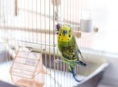 Budgerigar close up on the birdcage. Budgie and bell