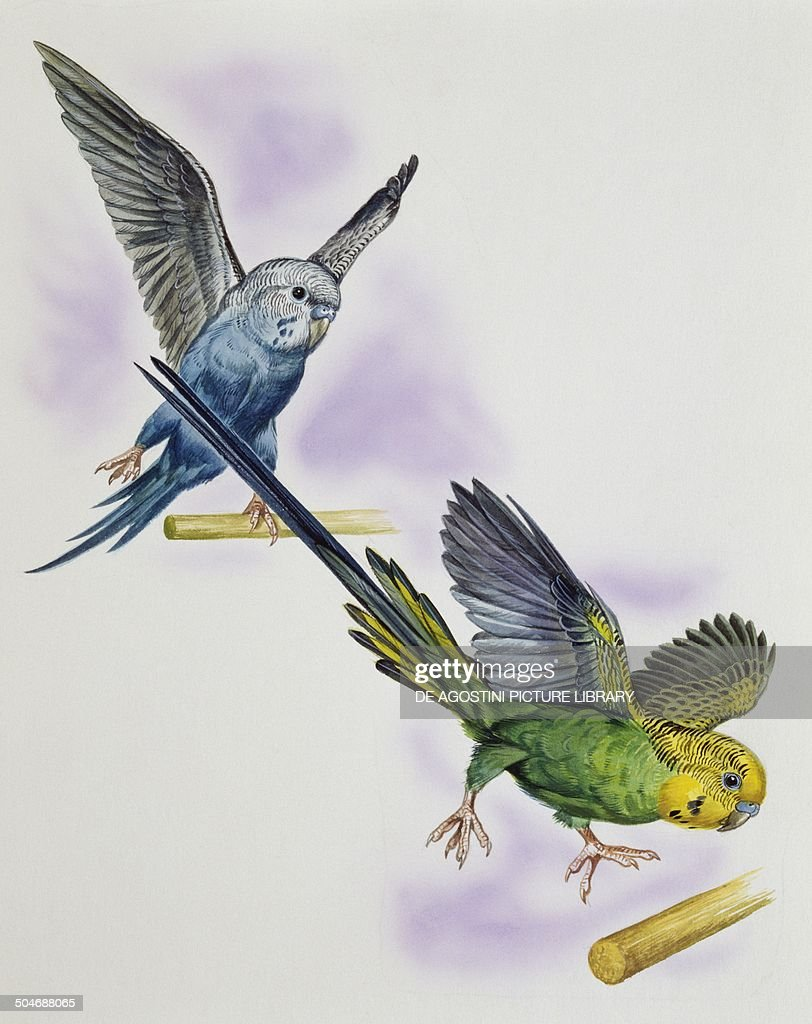 Budgerigar or Common pet Parakeet (Melopsittacus undulatus), Psittacidae, drawing.