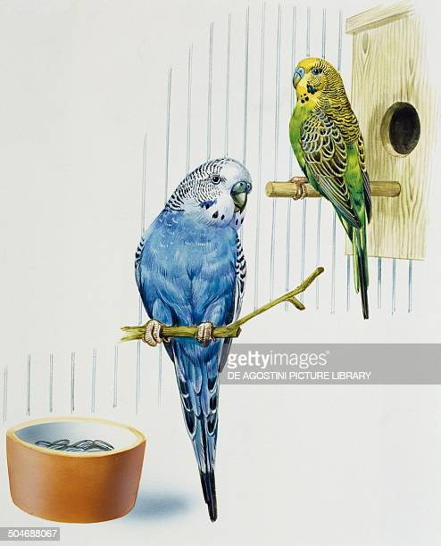 Budgerigar or Common pet Parakeet Psittacidae drawing