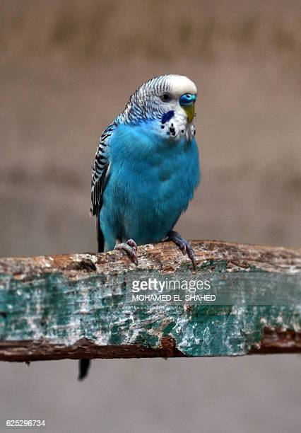 A budgerigar sits at an enclosure at the Giza zoo in Cairo on November 23 2016 Isma'il Pasha the ruler of Egypt from 18631879 built the zoo and...