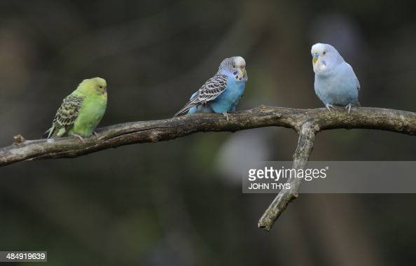Budgerigars are pictured at Pairi Daiza animal park in Brugelette on April 15 2014 AFP PHOTO / JOHN THYS