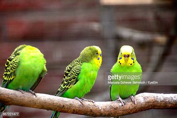 Budgerigars Perching On Branch