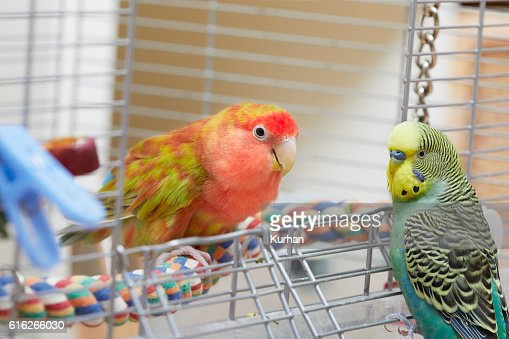 Budgie and lovebird parrots. : Stock Photo