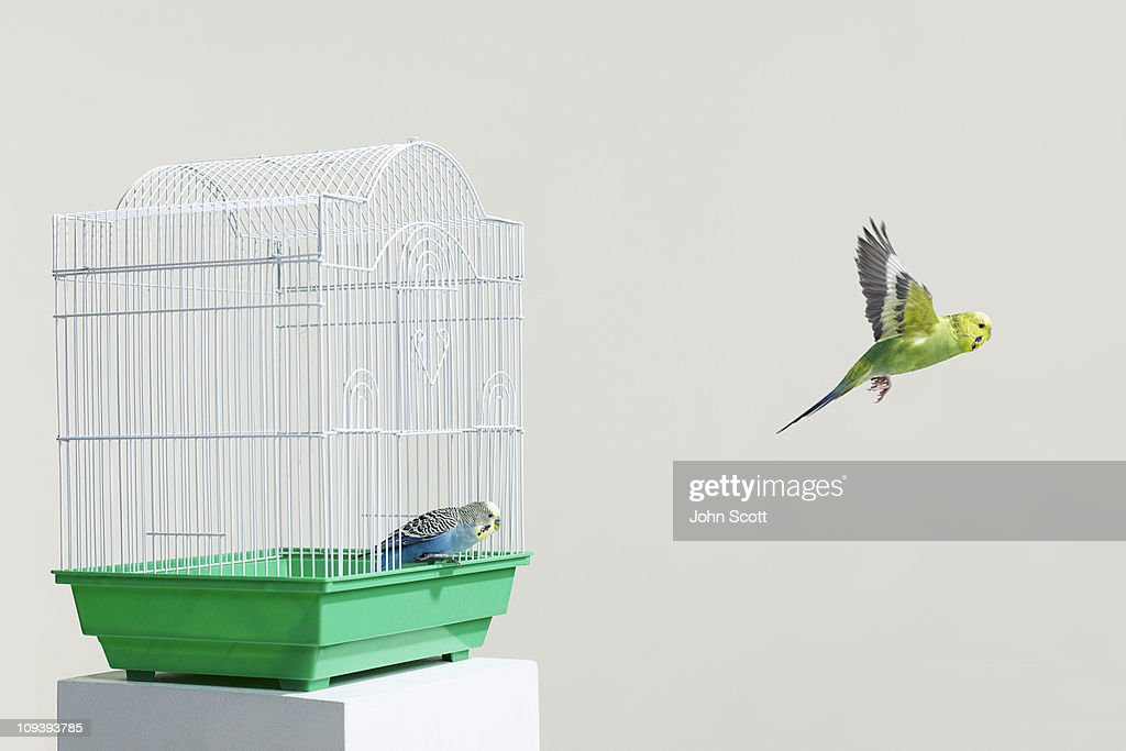 Budgies escaping their cage