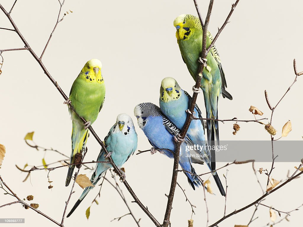 Budgies grouped on a branch : Stock Photo