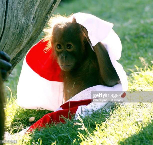 Budi the baby Sumatran orangutan shows his support by wearing a St George's flag at Chester Zoo ahead of England's World Cup quarterfinal against...
