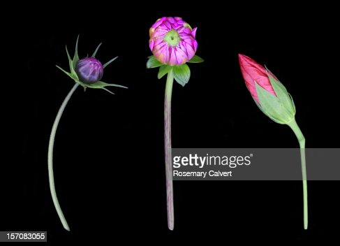 Buds illustrating admiration, success & dominance : Stock Photo