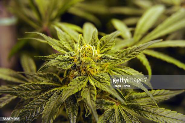 A buds of cannabis produced by the Italian Army at Stabilimento Chimico Farmaceutico Militare is displayed inside a greenhouse on May 16 2017 in...