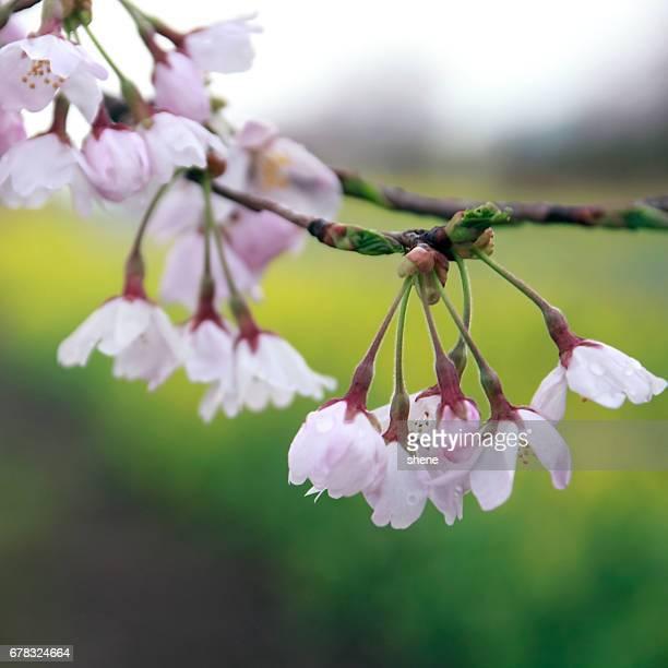 Buds of Cherry Blossom
