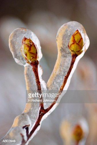 Buds of vine maple (Acer circinatum) coated in ice, winter : Stock Photo