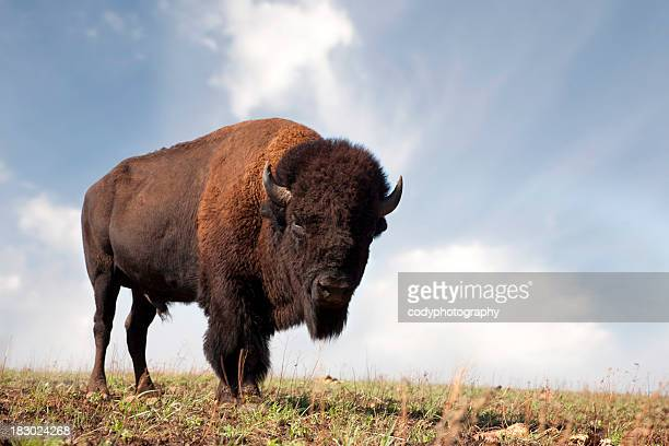 Buffalo an American Bison