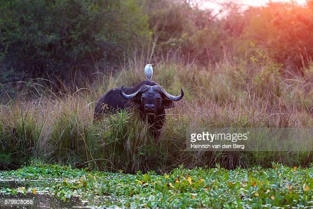 Buffalo and cattle egret, Lower Zambezi