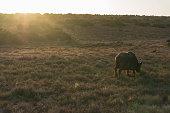 Buffalo and little mongoose grazing savannah on sunrise. African safari game drive scene