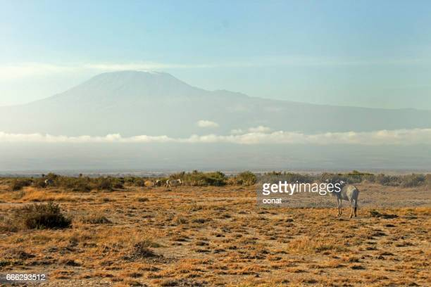 Buffalo and Mount Kilimanjaro