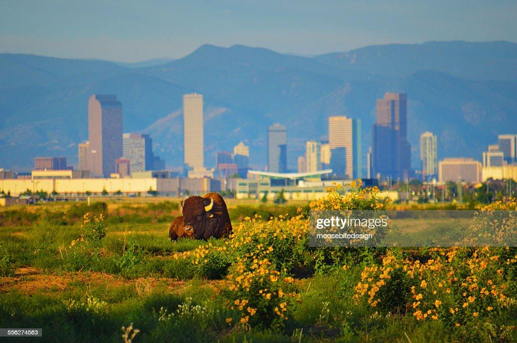 Buffalo and the Denver Skyline