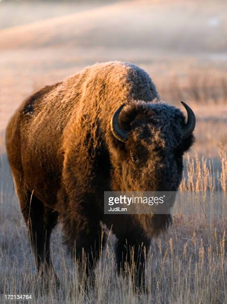 Buffalo at sunrise draped in the morning frost