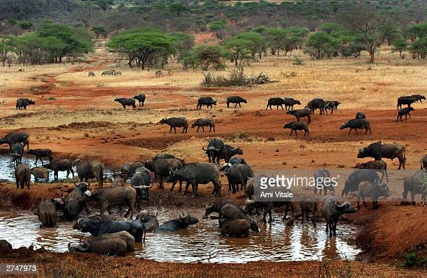 Buffalo bathe inside the Tsavo West National Park in Kenya October 25 where tourists pay extraordinary prices to view them Meanwhile the Maasai have...