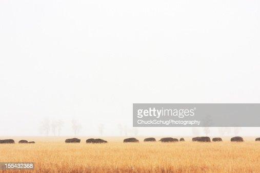 Buffalo Bison Herd Migration Fog