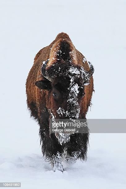 Buffalo braving spring snow