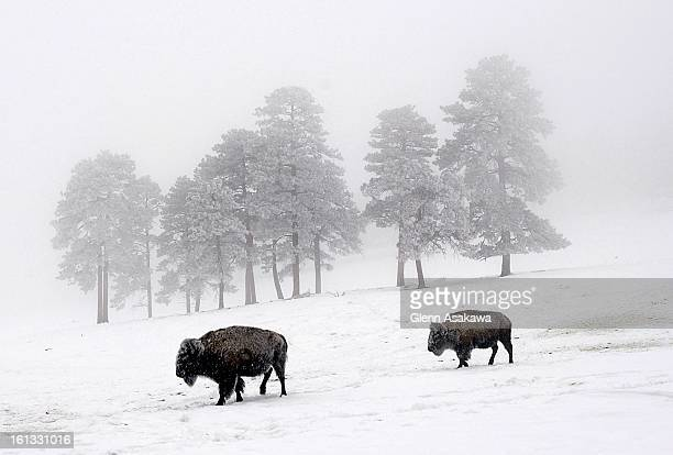 Buffalo foraging for food on a snowcovered hill near the Genesee exit along I70 creates a stark contrast in the wintry scene on Tuesday when a winter...