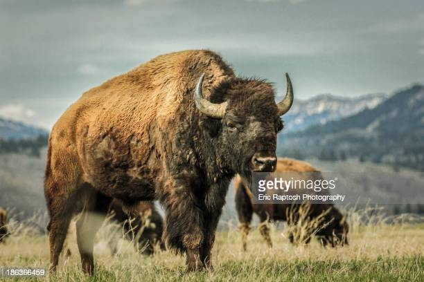 Buffalo grazing in grassy rural field