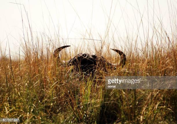 Buffalo hiding