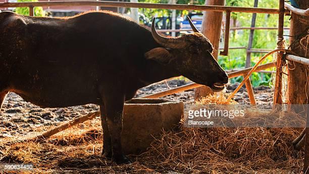 buffalo in cattle pen with sunset rim light