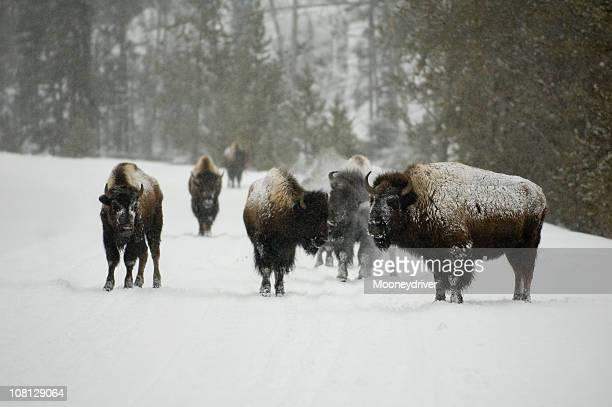 Buffalo en la nieve