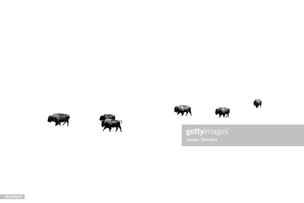 Buffalo in Yellowstone.