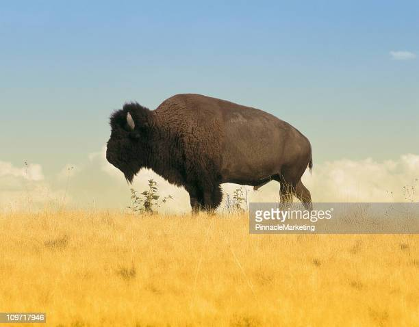 Buffalo on Amber Waves of Grain