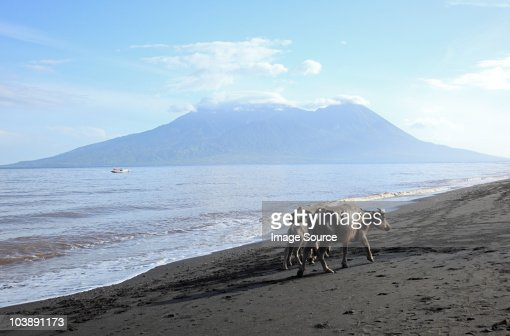 Buffalo on beach on sumbawa island, indonesia