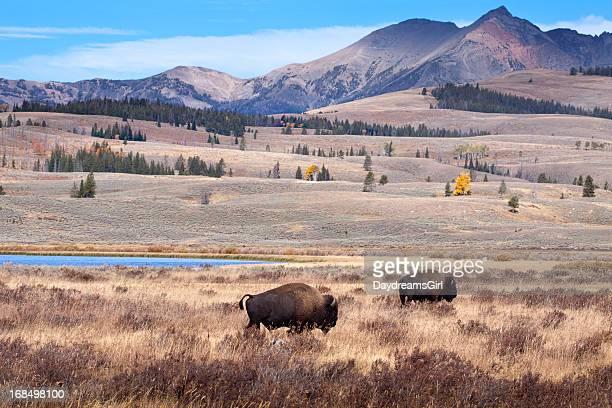 Buffalo o bisonte y vida silvestre de Yellowstone