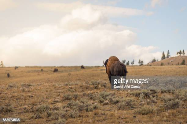 Buffalo or Bison and Wilderness in Yellowstone