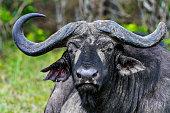buffalo in the savannah of africa