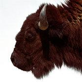 Buffalo (Bison bison), profile