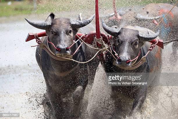 Buffalo racing Tambol Napa Chonburi, Thailand