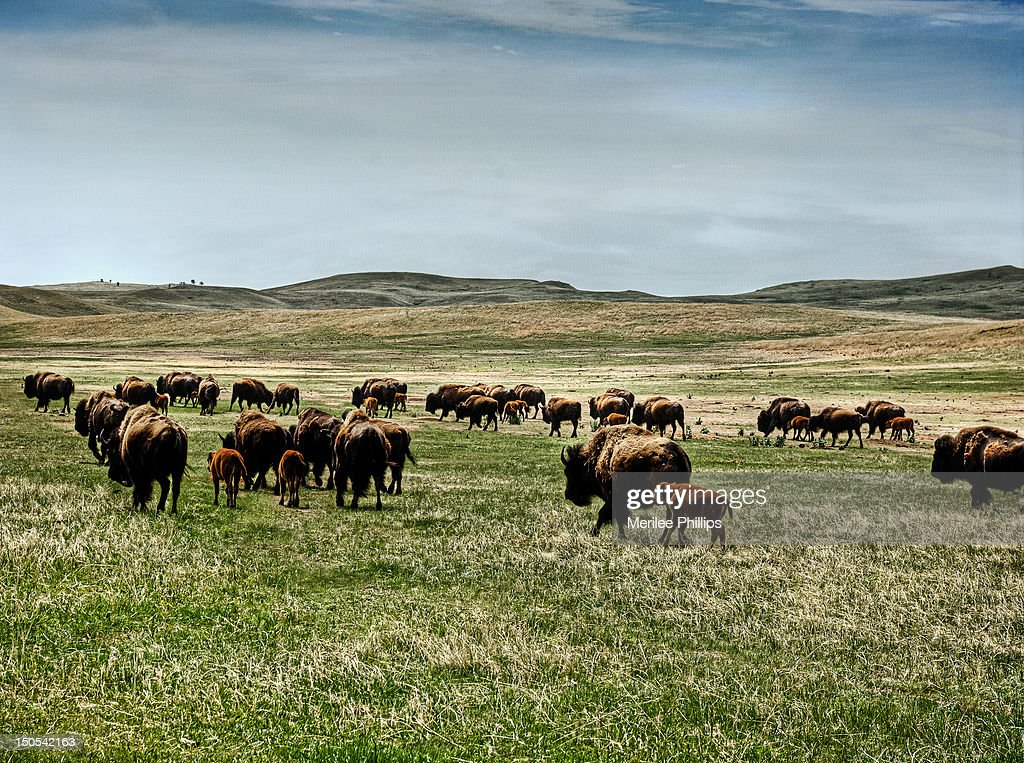 Buffalo roaming in field