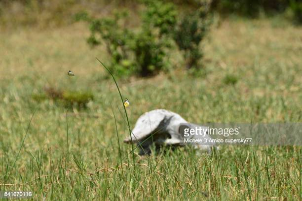 Buffalo skull in the grass with butterflies