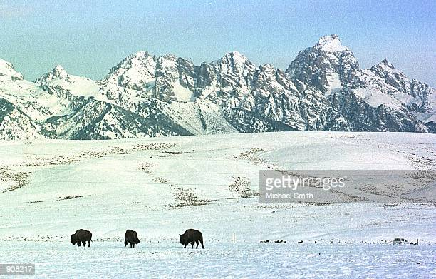Buffalo walk the range of the National Elk Refuge February 10 2001 near Grand Teton National Park in Wyoming Within the last few years small herds of...