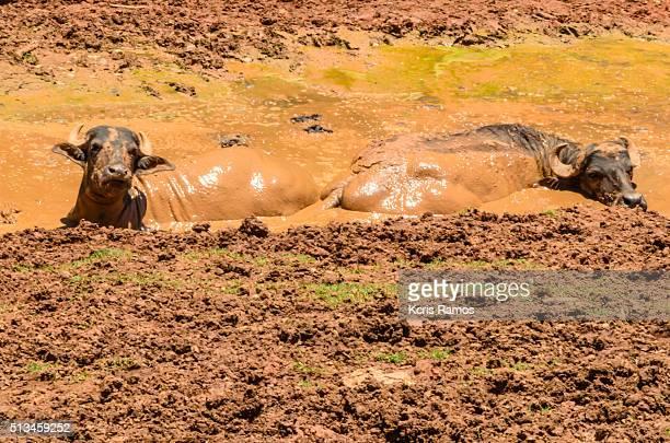buffalo wallowing in mud